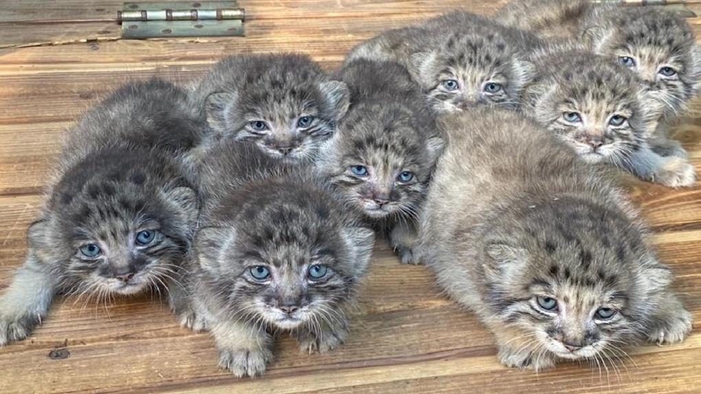 В Новосибирском зоопарке родились 16 голубоглазых манулов
