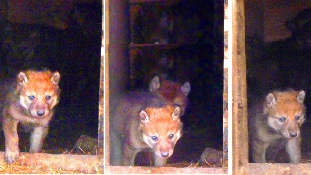 В зоопарке Омской области серая волчица родила рыжеватых щенят