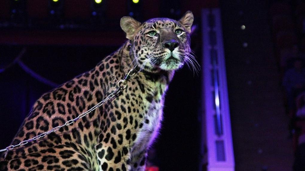 В омском цирке молодой «ягуар» устроил кровавую игру