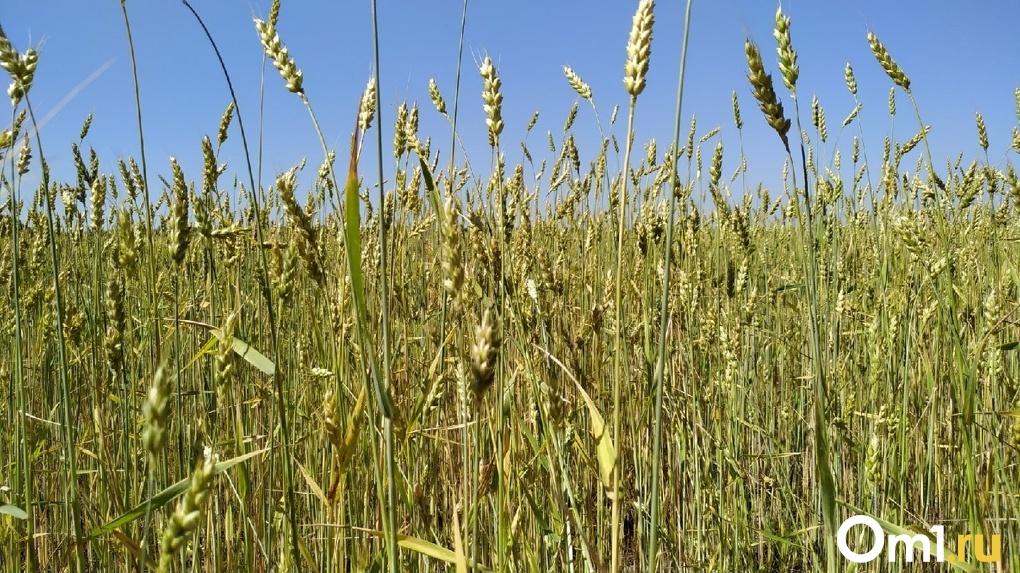 Омский Минсельхоз отчитался об объёме собранного урожая – прошлогодний объем перевыполнен