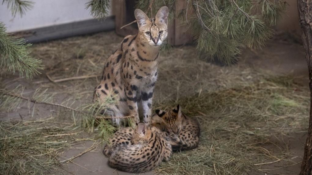 В Новосибирском зоопарке родились семь необычных кошек-сервалов