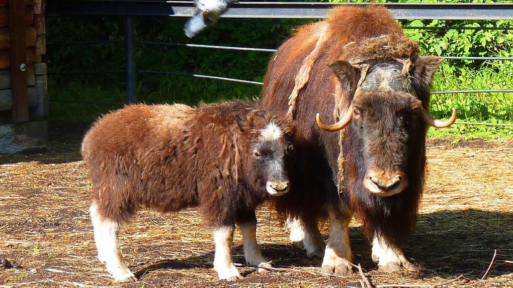 Омский Большереченский зоопарк выбирает имя для детеныша овцебыка