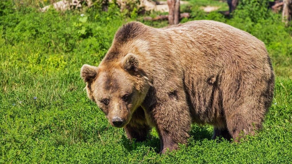 В Новосибирском зоопарке появятся открытые вольеры для гималайских медведей