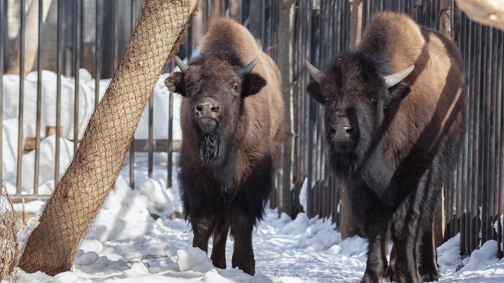 В Новосибирский зоопарк привезли редких животных, вид которых на грани полного исчезновения