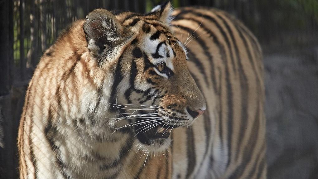 В Новосибирском зоопарке рассказали трогательную историю про Ростислава Шило и тигра Амура