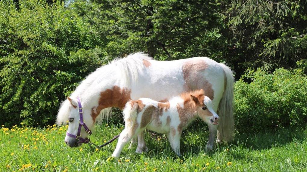 В Новосибирском зоопарке родились американские мини-лошади и ослики