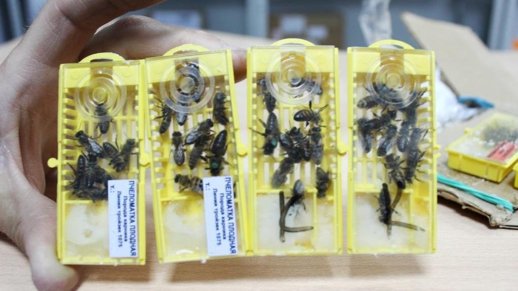 Омичи отправляют «Почтой России» живых пчёл