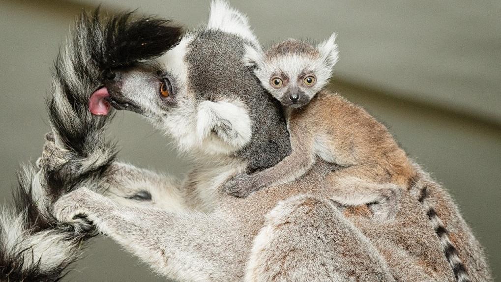 В новосибирском зоопарке родились три кошачьих лемура