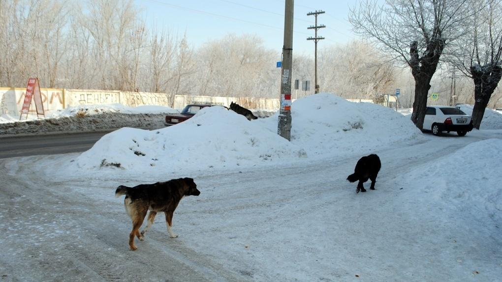 Бродячих собак в городе Обь Новосибирской области отловят за полмиллиона рублей