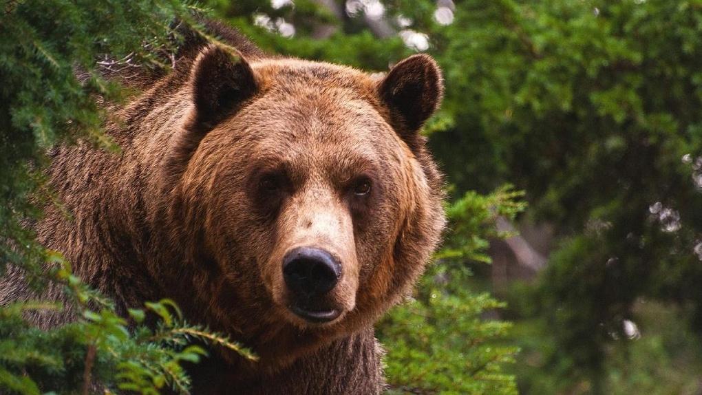 На севере Омской области медведь держит в страхе жителей деревни