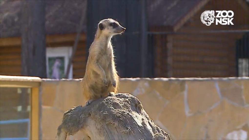 Новосибирский зоопарк показал забавное видео из жизни любопытных лемуров