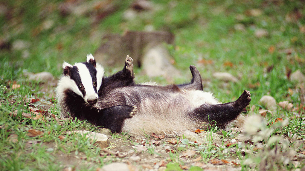 Большереченский зоопарк не смог купить барсуков: животные впали в спячку и их перепутали