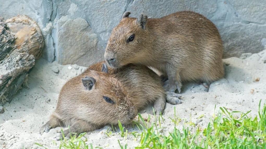 Самец капибары из Новосибирска обзавёлся потомством в Ростове-на-Дону