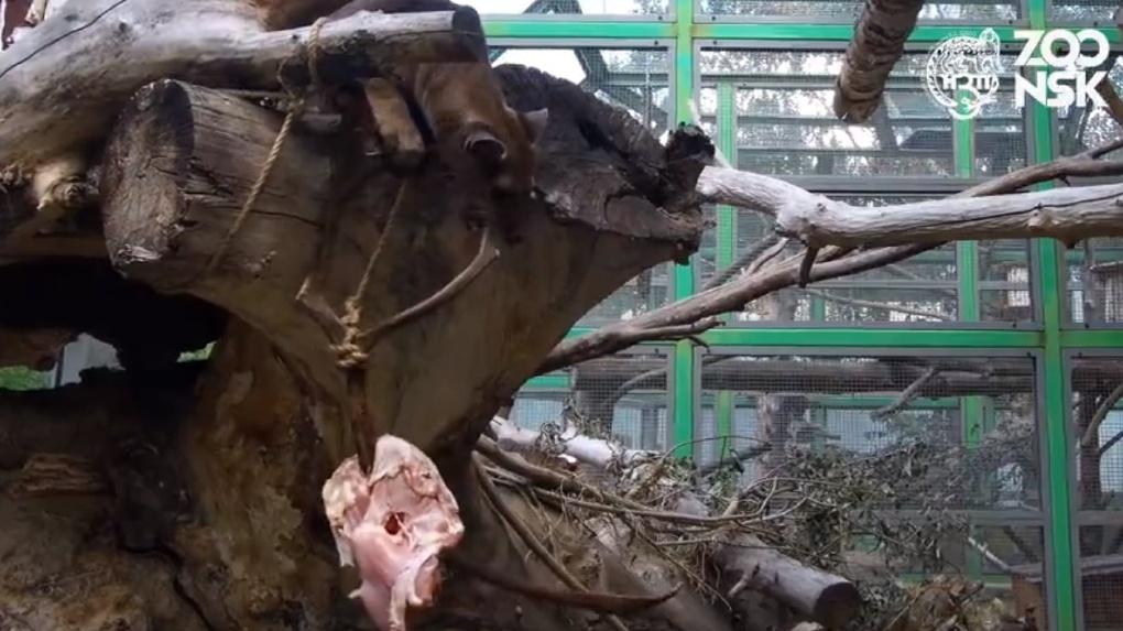 Новосибирский зоопарк показал охоту гигантского мадагаскарского хищника