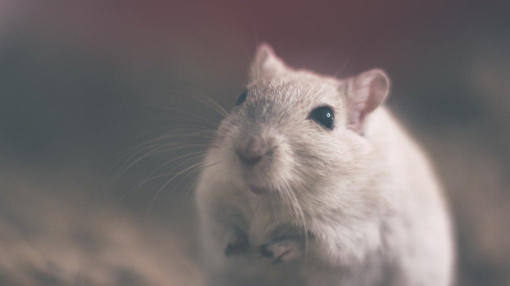 В Новосибирске создают трансгенных мышей для тестов вакцины от коронавируса