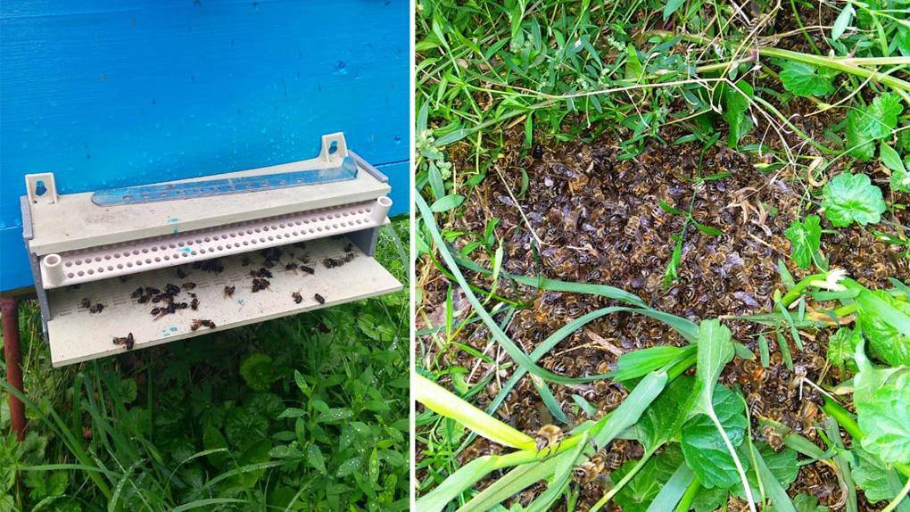 «Они осыпаются на дно»: в Новосибирской области пчёл снова отравили ядохимикатами