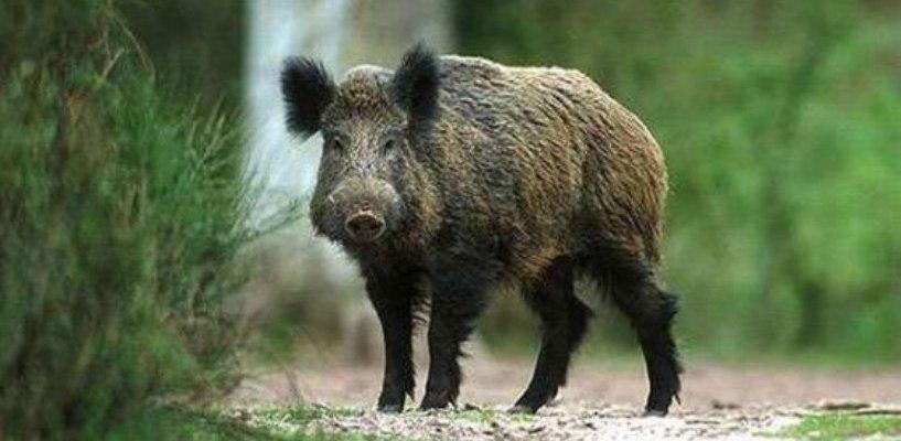 В Омске добавляли в пельмени мясо диких кабанов