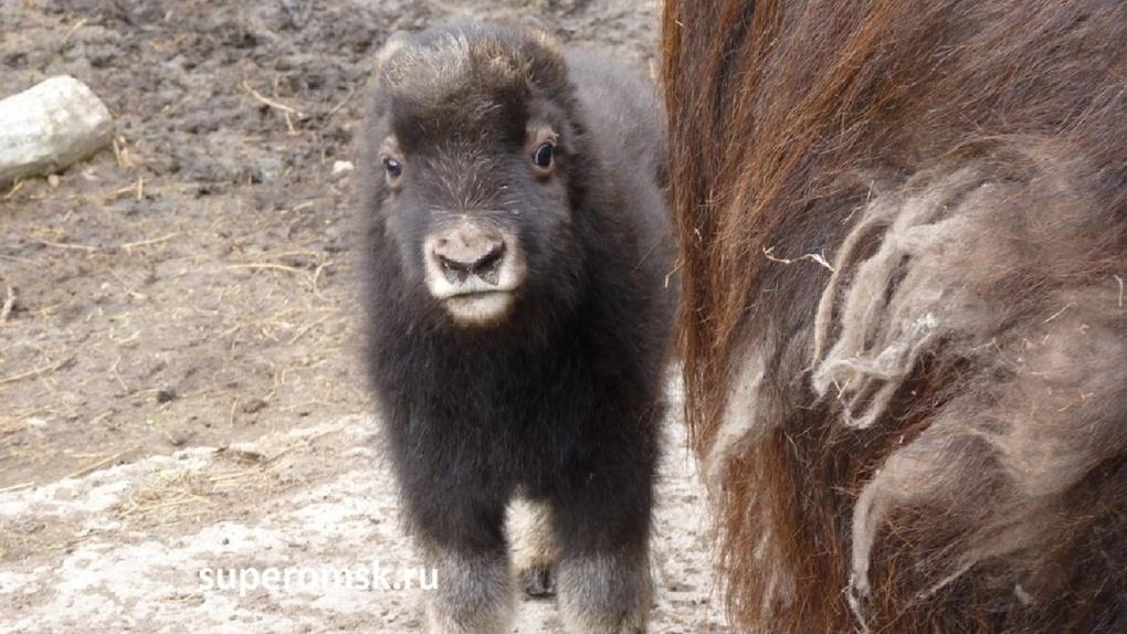 В омском Большереченском зоопарке пополнение: у пары овцебыков родился малыш