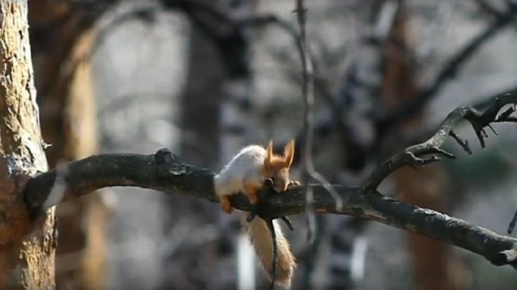 Новосибирцев умилил видеоролик со спящей белкой из Академгородка