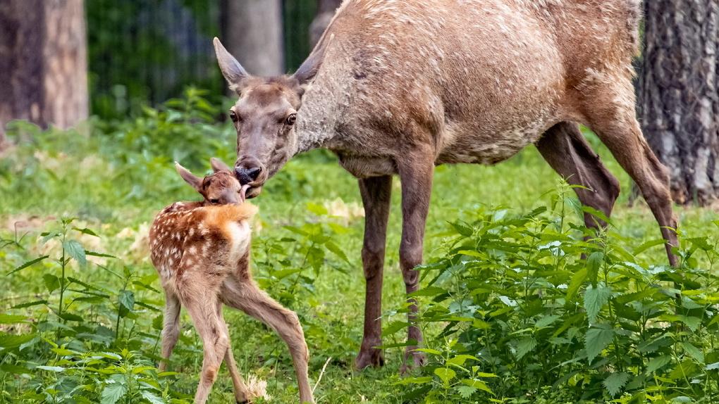 В Новосибирском зоопарке родились два оленёнка