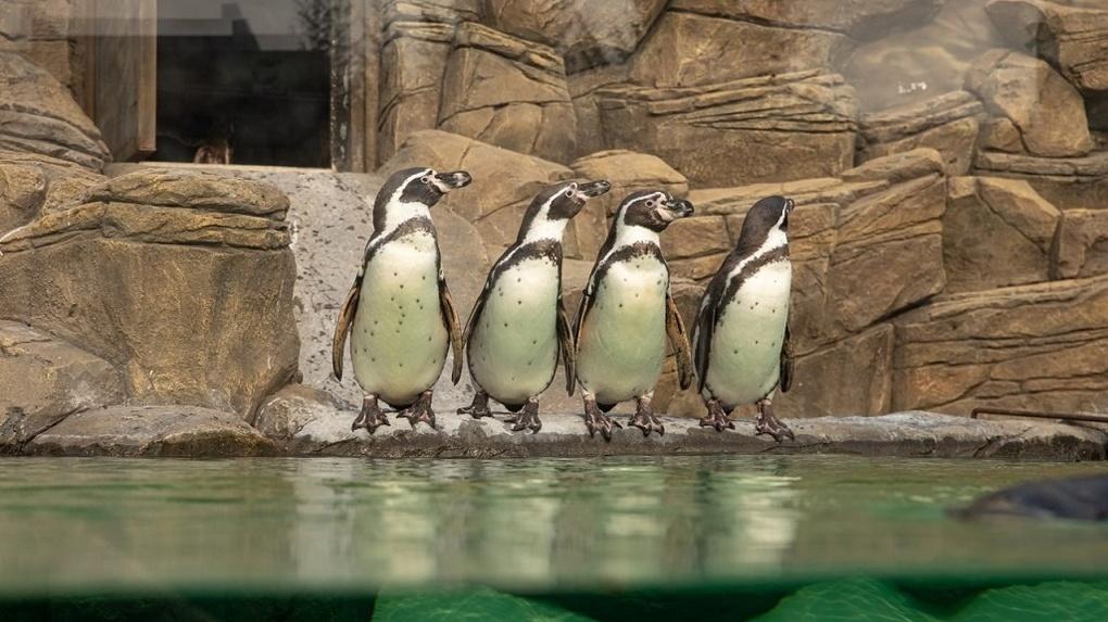 Думаете, все пингвины одинаковые? А вот и нет! В Новосибирском зоопарке рассказали об уникальности птиц