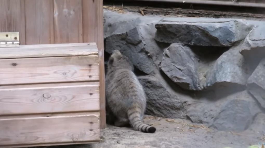 Милое видео с играми подросших манулов сняла постоянная посетительница Новосибирского зоопарка