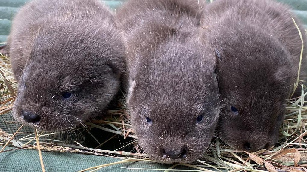 В Новосибирском зоопарке мама-выдра показала своих детёнышей