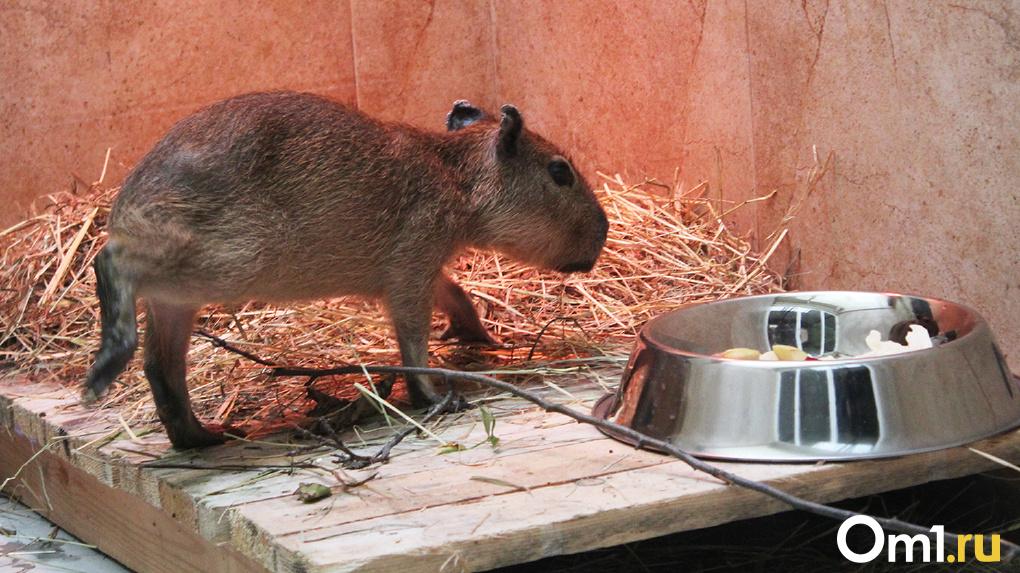 Упрямый характер, милые лапки: омичам представили первого родившегося в городе детеныша капибары