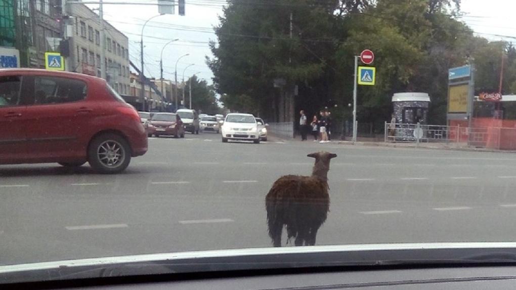 Барана заметили на дороге в центре Новосибирска