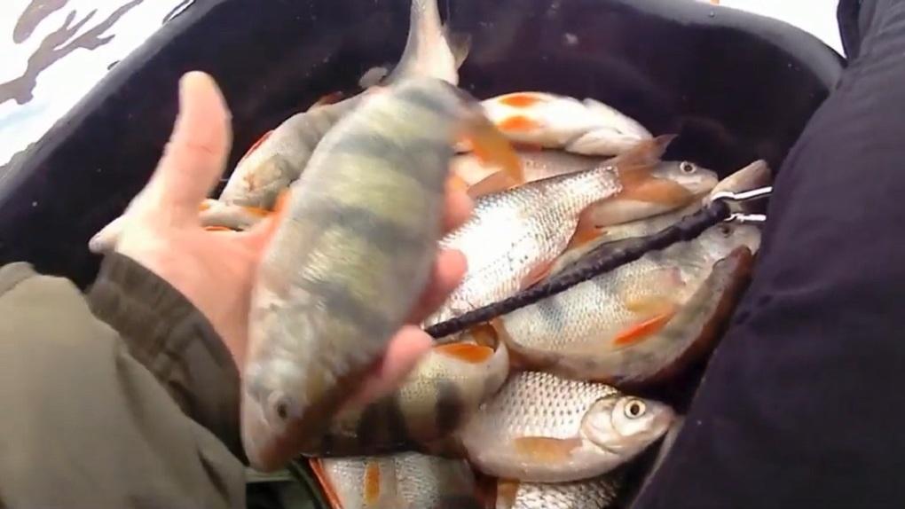 Новосибирец поймал рыбу на презерватив