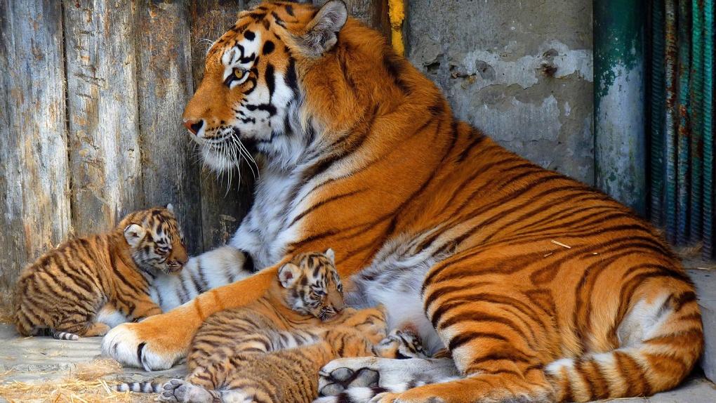 В Большереченском зоопарке пополнение – тигрица показала своих подросших котят