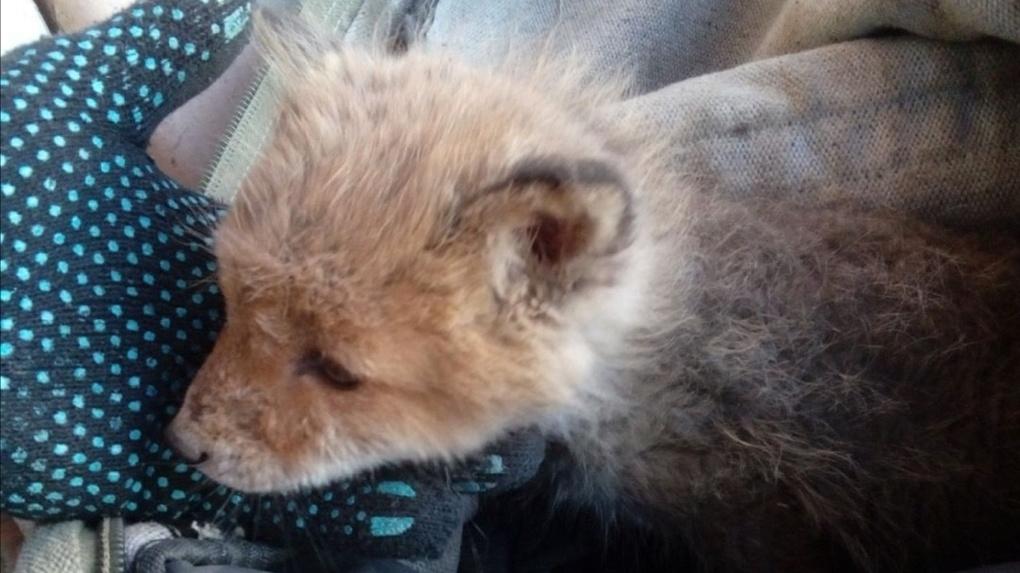 Омич спас жизнь маленькому лисёнку и оплачивает его лечение