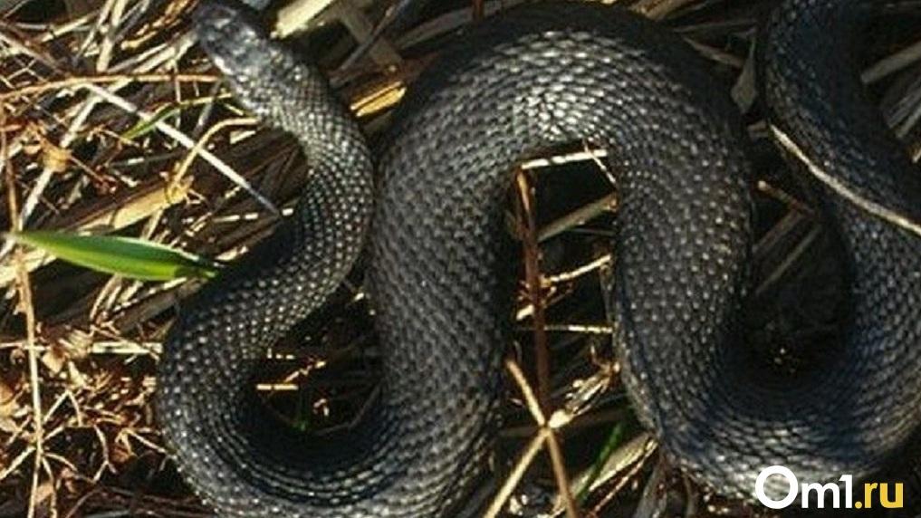 В Новосибирске заметили нашествие змей