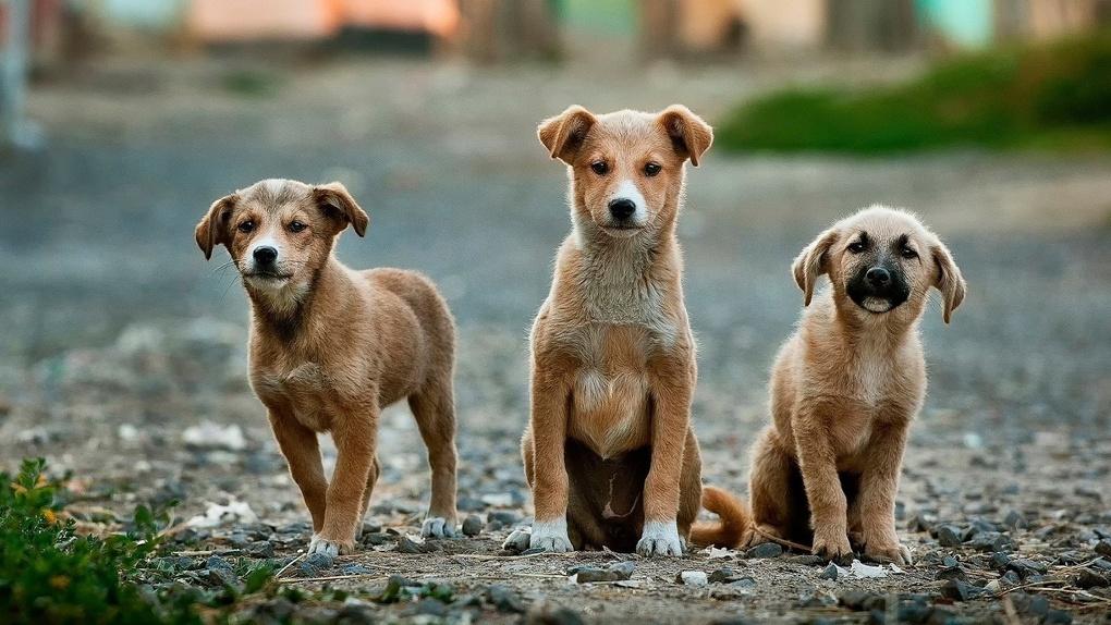 Омский живодер жестоко расправился с собакой и шестью щенками
