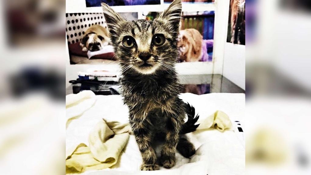 В Омске живодёры прожгли кислотой котёнку спину до костей