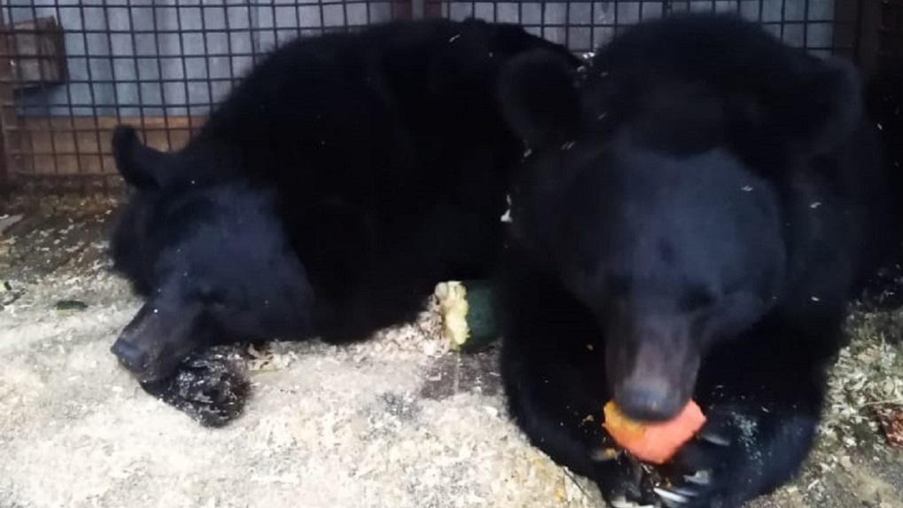 Замерзающих под Новосибирском цирковых медведей хотят перевезти в местный зоопарк