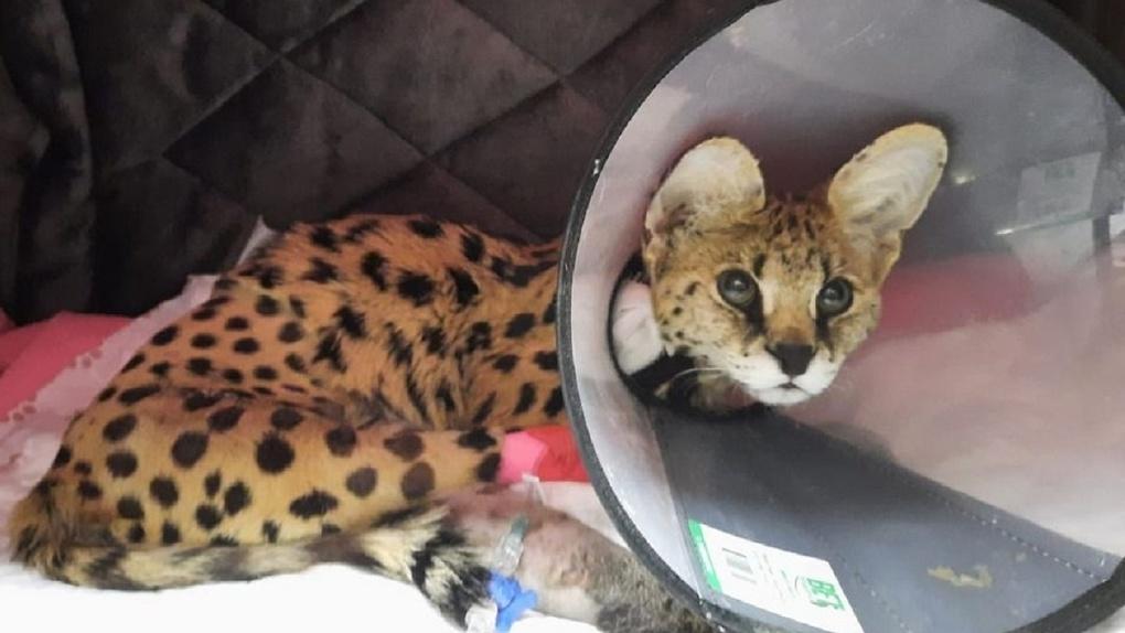 «Перенесла пять операций»: новосибирский ветеринар спасает сервала с редкой «хрустальной» болезнью