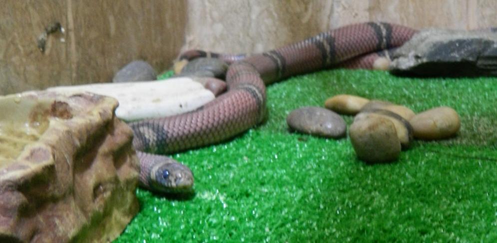 В детском зоопарке Омска показали молочную змею
