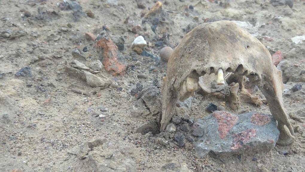 В Омске собака во время прогулки нашла человеческую челюсть
