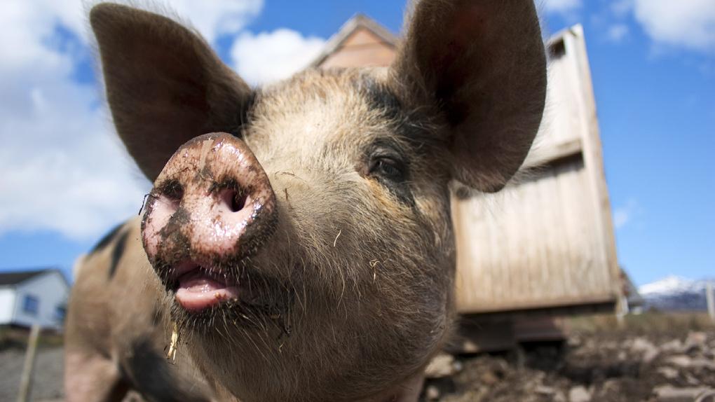 Чекусов готовится к новой вспышке чумы свиней в следующем году