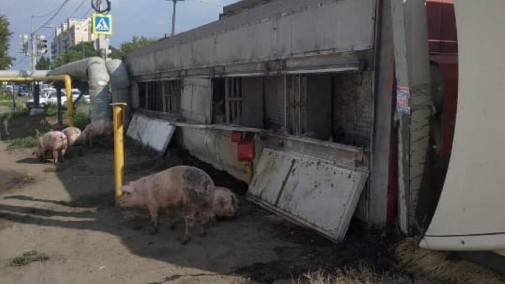 Появились подробности ДТП с фурой и свиньями в Омске