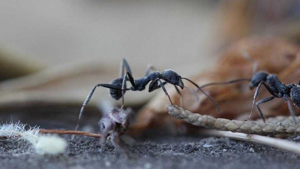 На витрине омского мясного магазина обнаружили муравьев