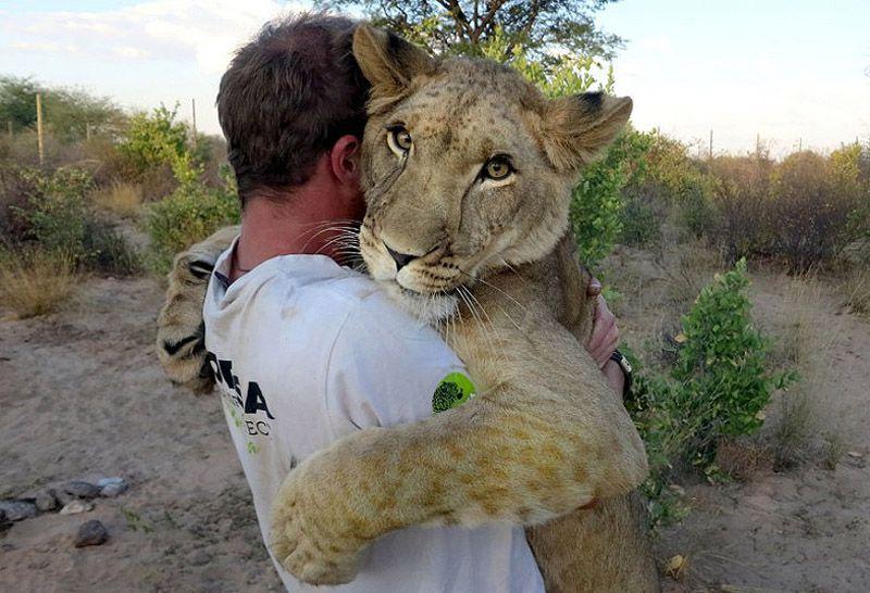 Милота и котики: соскучившаяся львица бросается на ручки своего спасителя