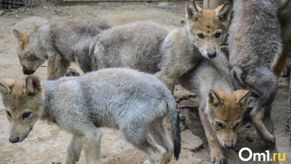 Не отпускайте детей одних. В Омской области — нашествие голодных волков из Казахстана