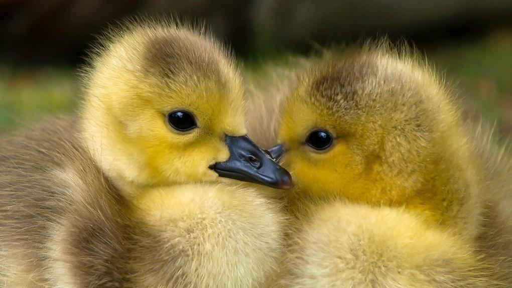 В Омскую область не пустили крохотных гусят-нелегалов