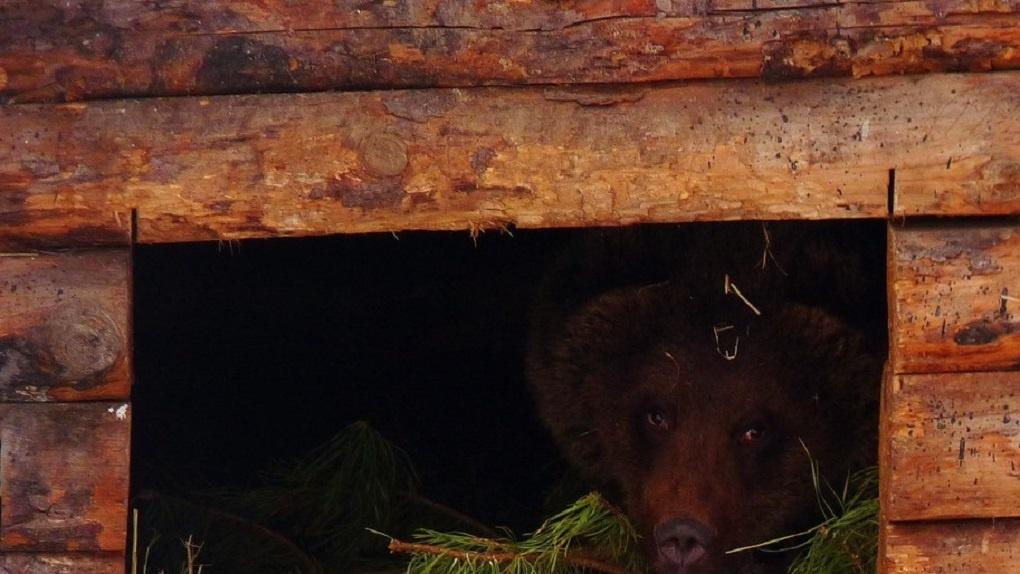 В Большереченском зоопарке не уснула только медведица Соня