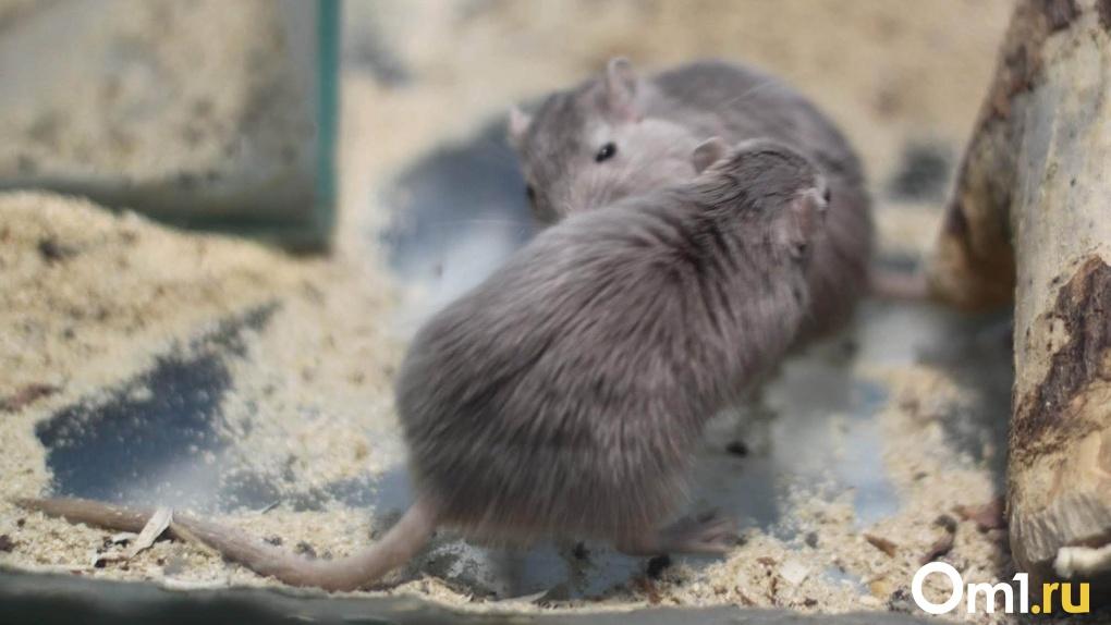 «Потомство в пенопласте»: новосибирец выхаживает шестерых слепых мышат