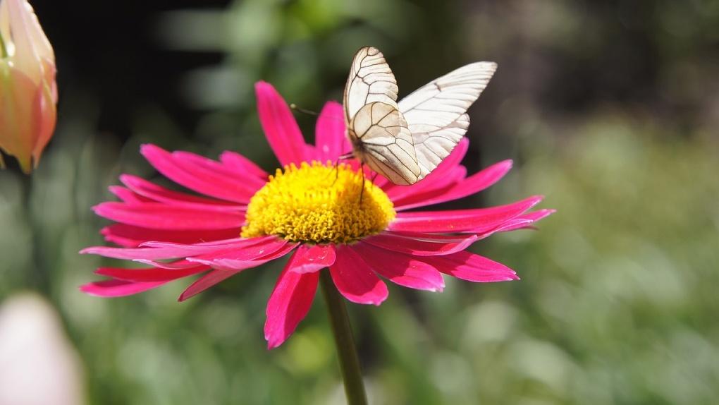 В Новосибирске заметили нашествие бабочек