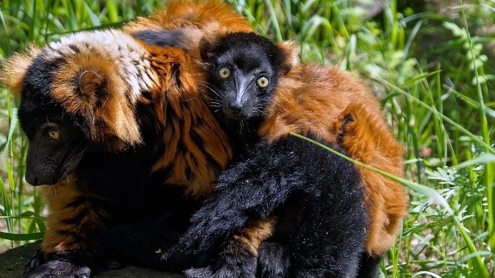 В Новосибирском зоопарке искусственно выкормили малыша лемура