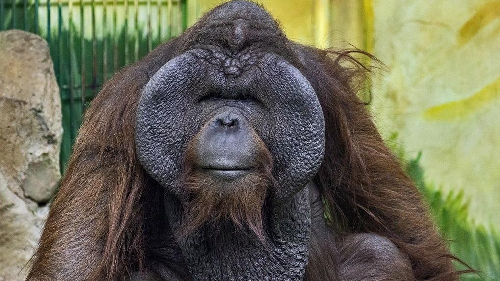 Удивляет предприимчивостью: секреты самого популярного животного рассказали в Новосибирском зоопарке